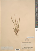 view Setaria parviflora (Poir.) Kerguélen digital asset number 1