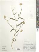 view Tricholepis glaberrima DC. digital asset number 1