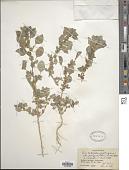 view Amaranthus graecizans L. digital asset number 1