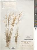 view Aristida purpurea var. fendleriana (Steud.) Vasey digital asset number 1