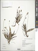 view Plantago lanceolata L. digital asset number 1