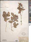 view Rubus caesius L. digital asset number 1