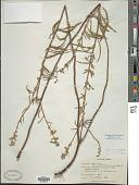 view Salvia azurea Michaux ex Lam. digital asset number 1