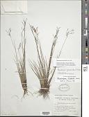 view Rhynchospora spruceana C.B. Clarke digital asset number 1