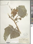 view Cucurbita foetidissima H.B.K. digital asset number 1