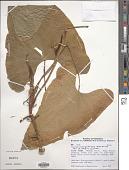 view Anthurium subsagittatum (Kunth) Kunth digital asset number 1