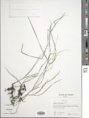 view Cyperus mindorensis (Steud.) Huygh digital asset number 1