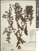 view Lamourouxia rhinanthifolia Kunth digital asset number 1