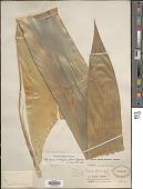 view Werauhia ringens (Griseb.) J.R. Grant digital asset number 1