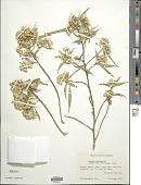 view Barkleyanthus salicifolius (Kunth) H. Rob. & Brettell digital asset number 1