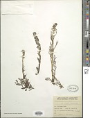 view Artemisia arctica subsp. comata (Rydb.) Hultén digital asset number 1