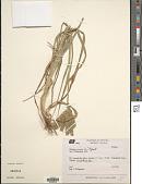 view Eleusine coracana (L.) Gaertn. digital asset number 1