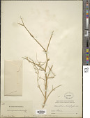 view Echinophora orientalis Hedge & Lamond digital asset number 1