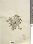 view Astragalus utahensis (Torr.) Torr. & A. Gray digital asset number 1