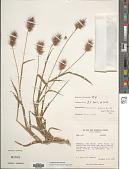 view Cenchrus pilosus Kunth digital asset number 1