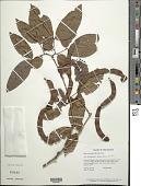 view Zygia cataractae (Kunth) L. Rico digital asset number 1