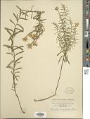 view Ionactis linariifolius (L.) Greene digital asset number 1