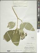 view Solanum hazenii Britton digital asset number 1