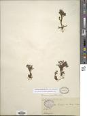 view Geranium sibbaldioides digital asset number 1