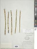 view Equisetum laevigatum A. Braun digital asset number 1