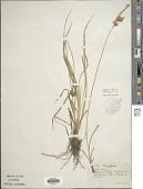 view Carex flava L. digital asset number 1