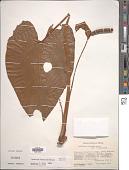 view Anthurium huixtlense Matuda digital asset number 1