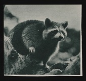 view Raccoons, Reptiles, Rhinoceroses, Squirrels digital asset: Raccoons, Reptiles, Rhinoceroses, Squirrels