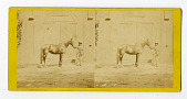 view Horses : stereographs digital asset: Horses : stereographs