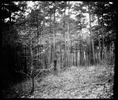 view Pine forest on the Catawba Reservation digital asset: Pine forest on the Catawba Reservation