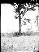 view Loblolly Pine tree digital asset: Loblolly Pine tree