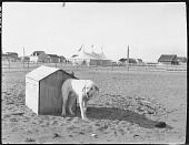 view Dog on the Uashat-Maliotenam Reserve digital asset: Dog on the Uashat-Maliotenam Reserve