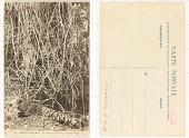 view 18. Congo Français Un lacis de lianes dans la Forêt Vierge digital asset: 18. Congo Français Un lacis de lianes dans la Forêt Vierge