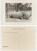 view Société Chasse et Tourisme au Cameroun Rhinocéros Noir digital asset: Société Chasse et Tourisme au Cameroun Rhinocéros Noir
