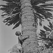 view Lovedu boy climbing tree, Northern Transvaal (South Africa) digital asset: Lovedu boy climbing tree, Northern Transvaal (South Africa)