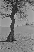 view Tree, Kalahari Desert, Botswana digital asset: Tree, Kalahari Desert, Botswana