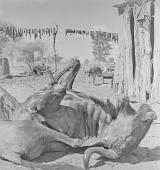view Slain cattle, Kalahari Desert, Botswana digital asset: Slain cattle, Kalahari Desert, Botswana