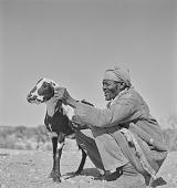 view San man with goat, Kalahari Desert, Botswana digital asset: San man with goat, Kalahari Desert, Botswana