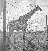 view Giraffe, Livingston (Zambia) digital asset: Giraffe, Livingston (Zambia)
