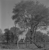 view Giraffes in a game reserve, South Africa digital asset: Giraffes in a game reserve, South Africa
