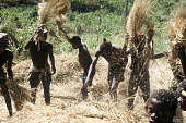 view Young adult males threshing rice, Siemamaya, Sierra Leone digital asset: Young adult males threshing rice, Siemamaya, Sierra Leone