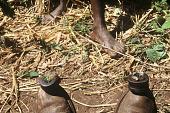 view Iron gongs called kukengken, usually played along long drum called kusung, Siemamaya Village, Sierra Leone digital asset: Iron gongs called kukengken, usually played along long drum called kusung, Siemamaya Village, Sierra Leone