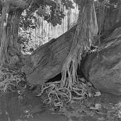 view Roots of baobab trees, outside of Bamako, Mali digital asset: Roots of baobab trees, outside of Bamako, Mali