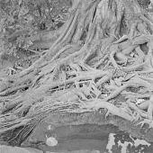 view Baobab tree roots, near Bamako, Mali digital asset: Baobab tree roots, near Bamako, Mali