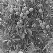 view Plant with fruit, outside of Bamako, Mali digital asset: Plant with fruit, outside of Bamako, Mali