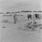 view Maure man herding cattle, north of Tombouctou, Mali digital asset: Maure man herding cattle, north of Tombouctou, Mali