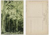 view Gold Coast, W. A. Silk Cotton Trees; Virgin Forest digital asset: Gold Coast, W. A. Silk Cotton Trees; Virgin Forest