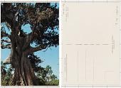 view Poilão Sagrado Poilão; arbre sacre digital asset: Poilão Sagrado Poilão; arbre sacre