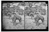 view Army officer with horse digital asset: Army officer with horse