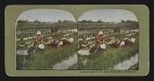 view A Busy Scene in the Rice Fields Near Yokohama digital asset: A Busy Scene in the Rice Fields Near Yokohama