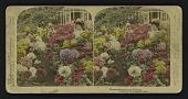 view Chrysanthemums -- 500 Varieties digital asset: Chrysanthemums -- 500 Varieties